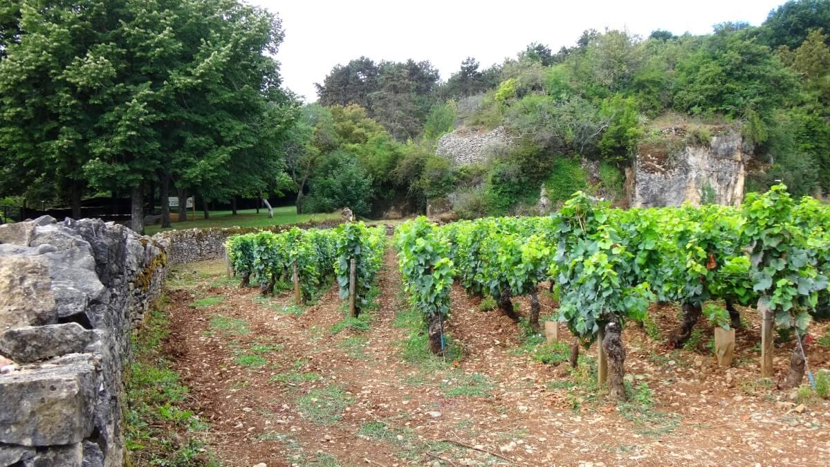 Vinice s odrůdou Chardonnay