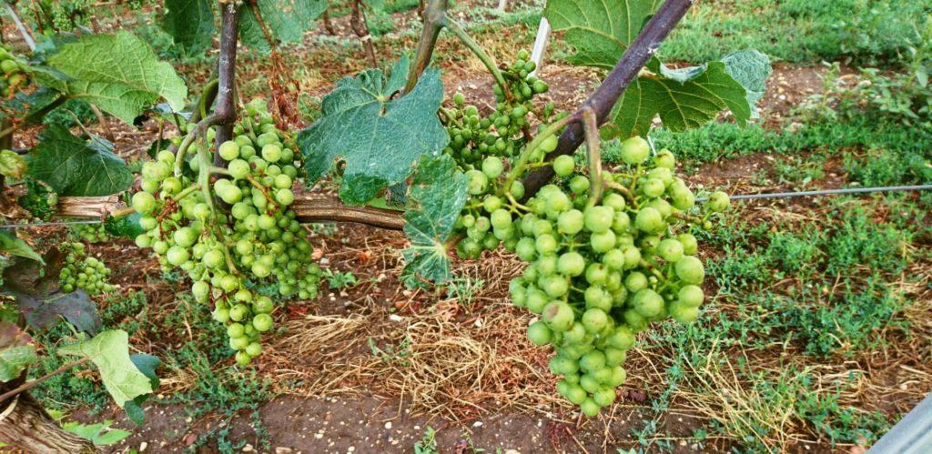 Hrozny odrůdy Chardonnay