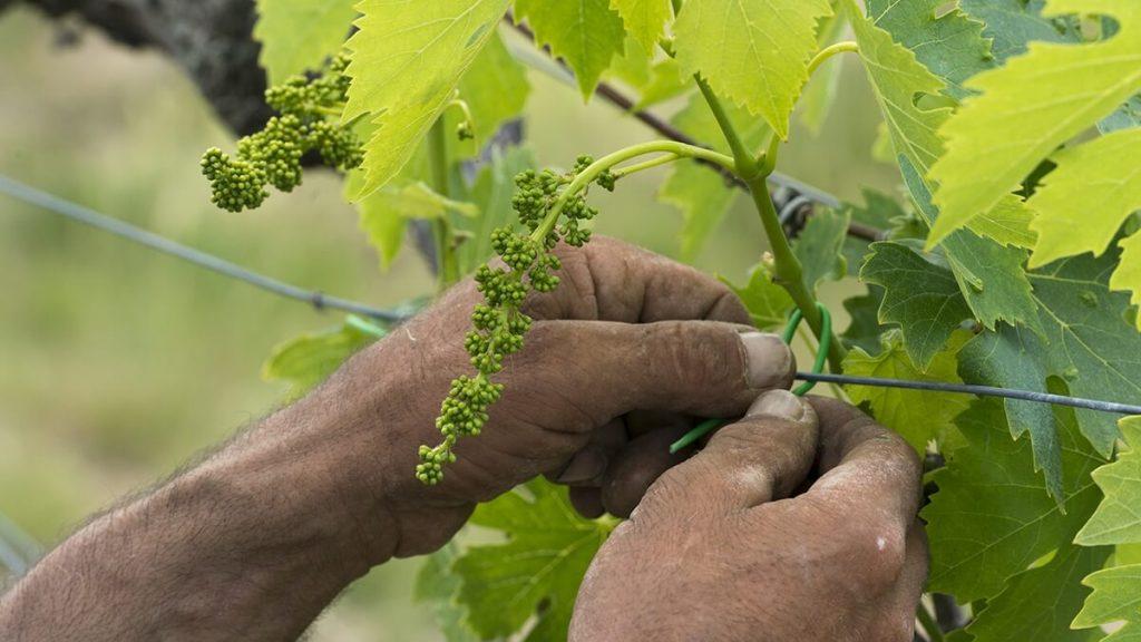 Il Colomabaio di Santa Chiara - práce na vinici